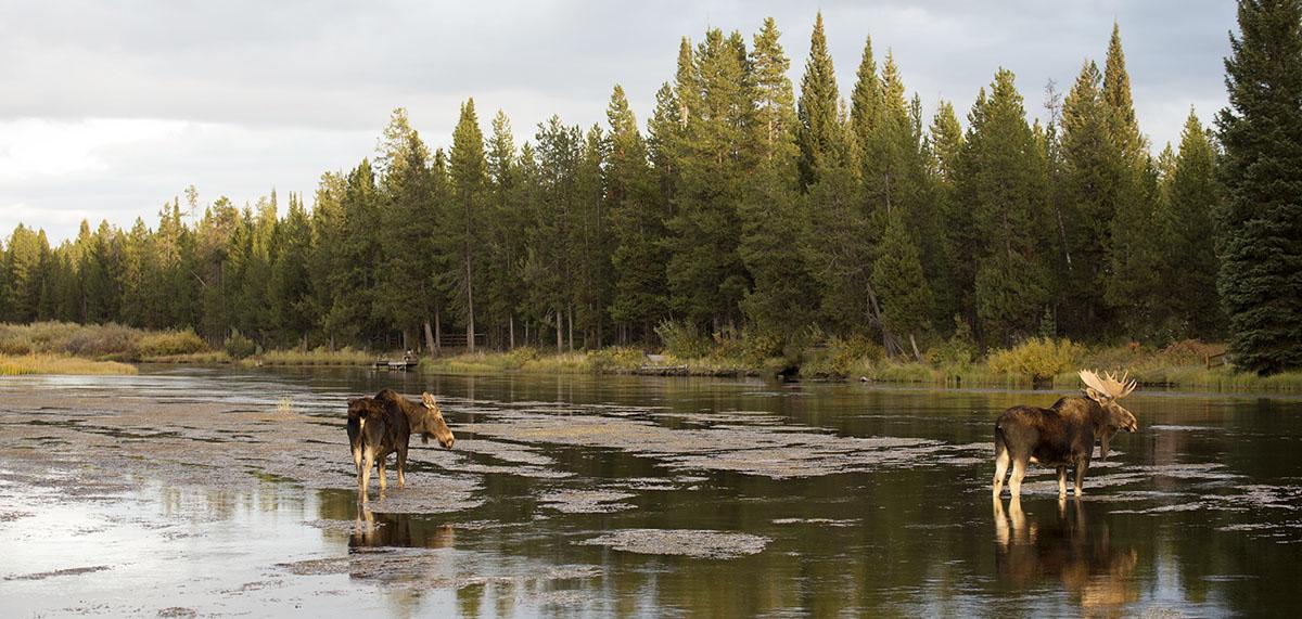 Henry's Fork RV Park Moose