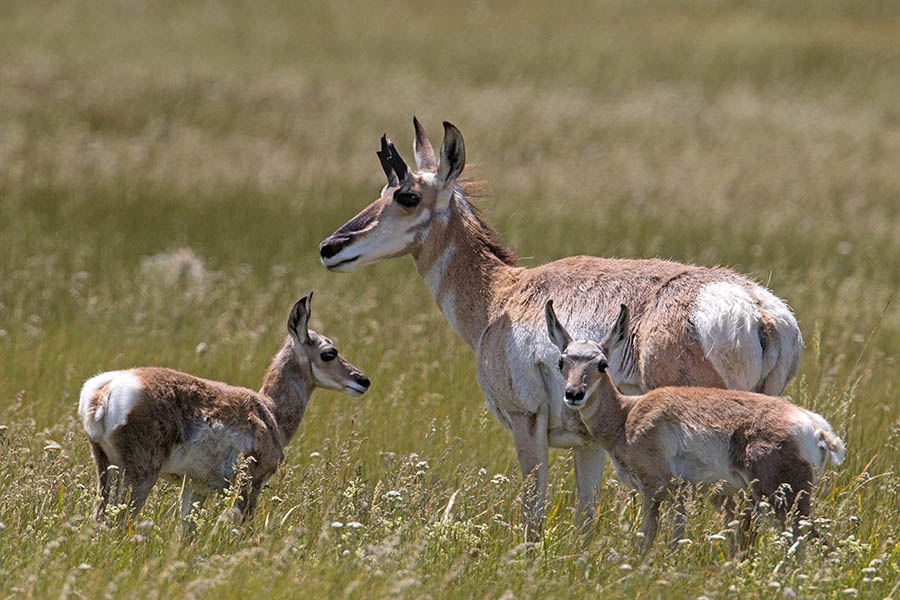 Pronghorn and Calves